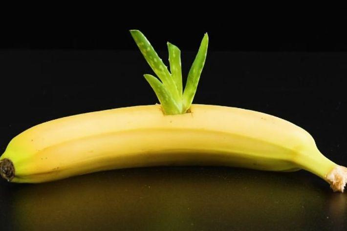 پرورش گیاه آلوئه ورا و ریشه دادن سریع آن در موز